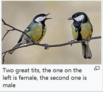 female and male great tit