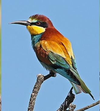 European bee-eater Bird